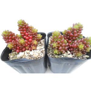 多肉植物 セダム属 レッドベリー 2個セット