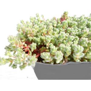 多肉植物 セダム ステフコ 9cmポット