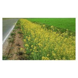 春を彩る代表的な景観作物です。 レンゲの代替の養蜂蜜源として、利用されていおります。 水田裏作に導入...