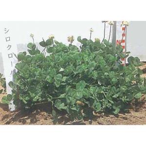 景観形成 緑肥 グランドカバー シロクローバー(白クローバー) 500g