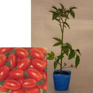 野菜の苗 ミニトマト アイコ 実生苗 1株 予約販売