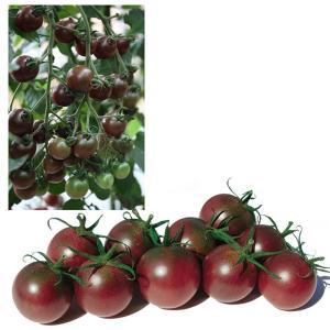 野菜の苗 ミニトマト トスカーナバイオレット 実生苗 1株 予約販売