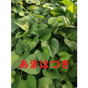 さつまいも苗 ●サツマイモ苗 ●新品種  あいこまち 苗10本 切り苗