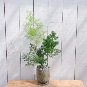 アスパラガス・マコワニー 陶器付き 観葉植物 現品限り ina-clover