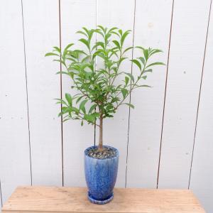 バオバブ 陶器付き 観葉植物 現品限り ina-clover