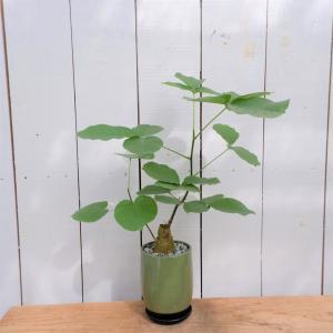 プセウド ボンバックス 陶器付き コーデックス 希少 塊根植物 現品限り ina-clover