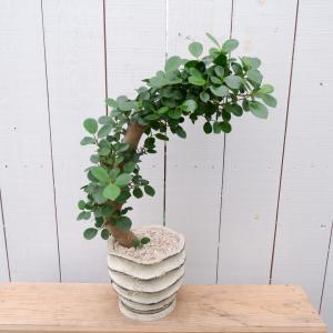 限品限り ガジュマル パンダガジュマル 多幸の木 陶器鉢付き 観葉植物 インテリア ina-clover