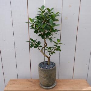 フランスゴム ゴムノキ フィカスルビギノーサ 現品限り 観葉植物 インテリア 陶器鉢セット ina-clover