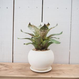 フリーセア ギガンティア ノバ タンクブロメリア アナナス 陶器付き 観葉植物 現品限り ina-clover