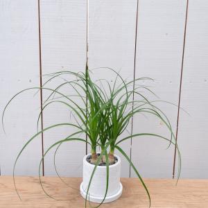 トックリラン ノリナ コーデックス 塊根植物 ポニーテール 陶器付き 現品限り ina-clover