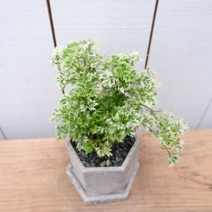 ポリシャス スノープリンセス タイワンモミジ 陶器付き 現品限り 観葉植物 おしゃれ ina-clover