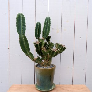 柱サボテン ハシラサボテン 鬼面角 観葉植物  鉢付き カクタス インテリア ina-clover