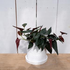 シンゴニウム シンゴジューム チョコレート 陶器付き 観葉植物 現品限り  ina-clover