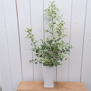 フィカス・スイートハート 現品限り 観葉植物 インテリア 陶器鉢セット ina-clover