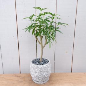 シェフレラ・アンガスティンフォリア 陶器付き カポック 観葉植物 現品限り ina-clover