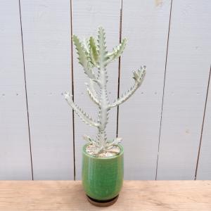 ユーフォルビア ラクテア ホワイトゴースト 希少 陶器付き 観葉植物 ina-clover