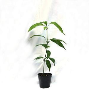 マンゴーの苗木【果樹苗 実生苗10.5cmポット/1個】(ポット苗なので年中植付け可能!)日当たりが良い場所で管理します。耐暑性があるため、夏の暑さに inkgekiyasu