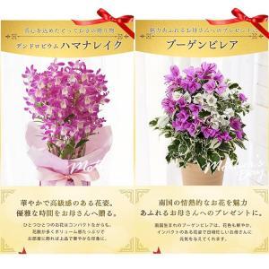 母の日 ギフトランキング プレゼント  母の日ギフト2018 花 鉢花  贈り物 アジサイ マーガレット ベゴニア (2018年母の日)(代引不可)|irisplaza|08