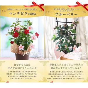 母の日 ギフトランキング プレゼント  母の日ギフト2018 花 鉢花  贈り物 アジサイ マーガレット ベゴニア (2018年母の日)(代引不可)|irisplaza|09