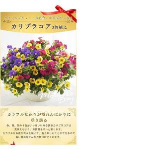 母の日 ギフトランキング プレゼント  母の日ギフト2018 花 鉢花  贈り物 アジサイ マーガレット ベゴニア (2018年母の日)(代引不可)|irisplaza|10