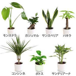 水耕栽培用 観葉植物 ハイドロカルチャー2鉢セット 【代引き不可】