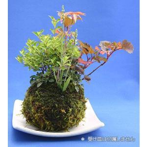 寄せ植え苔玉盆栽【受皿は付属しません】の詳細画像1