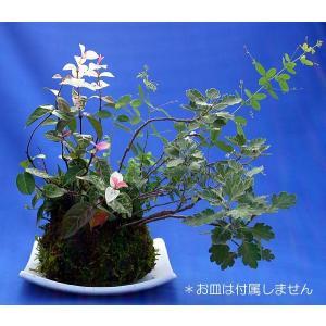 寄せ植え苔玉盆栽【受皿は付属しません】の詳細画像2