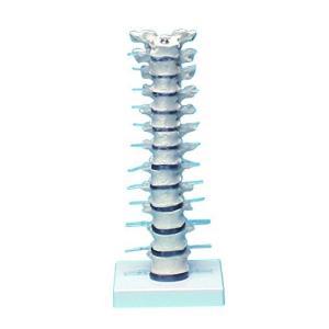 胸椎モデル 385×150×130 /8-8421-01 iron-peace