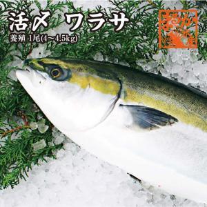 活〆ワラサ  1尾 4kg〜4.5kg(養殖)|isemaruka