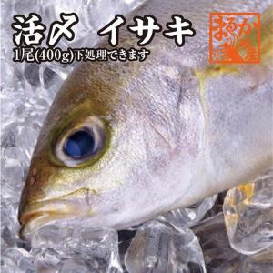 活〆いさき 1尾 400g 下調理できます [イサキ]|isemaruka
