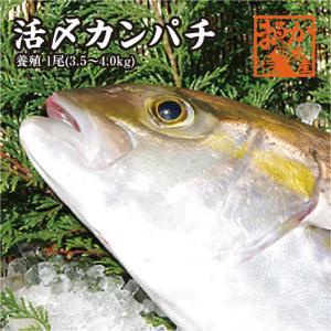 活〆カンパチ 1尾 3.5kg〜4kg(養殖)|isemaruka