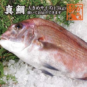 真鯛 大きめサイズ 捌いてお届けできます 1.5kg [魚介類]