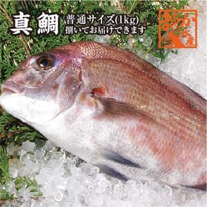 真鯛 普通サイズ 捌いてお届けできます 1.0kg [魚介類]|isemaruka