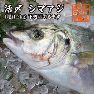 活〆シマアジ 1尾 約1.2kg 下調理できます [シマアジ]|isemaruka