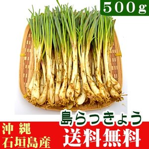 石垣島産 島らっきょう500g (島野菜) 送料無料|ishigakijimanoukatai