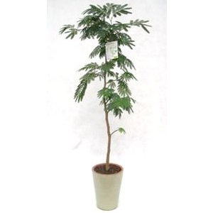 観葉植物 開店祝い エバーフレッシュ10号(陶器鉢入り陶器受け皿付)|ispecial