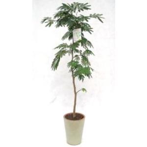 観葉植物 開店祝い エバーフレッシュ8号(陶器鉢入り陶器受け皿付)|ispecial