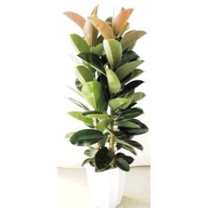 観葉植物 開店祝い ゴムの木(フィカス)10号(陶器鉢入り陶器受け皿付)|ispecial