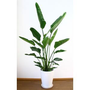 観葉植物 開店祝い オーガスタ10号(陶器鉢入り陶器受け皿付)|ispecial