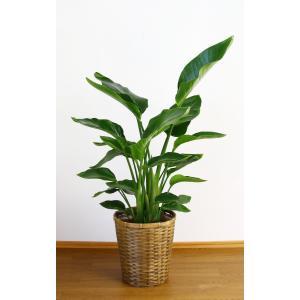 観葉植物 開店祝い オーガスタ8号(陶器鉢入り陶器受け皿付)|ispecial