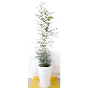 観葉植物 開店祝い シマトネリコ10号(陶器鉢入り陶器受け皿付)|ispecial