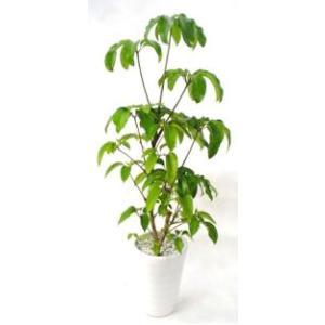 観葉植物 開店祝い ツピタンサス10号(陶器鉢入り陶器受け皿付)|ispecial