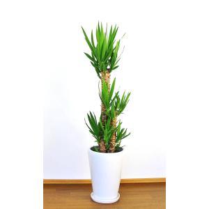 観葉植物 開店祝い ユッカ10号(陶器鉢入り陶器受け皿付)|ispecial