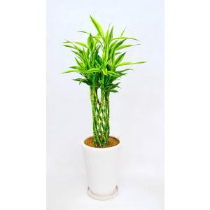 観葉植物 開店祝い ラッキーバンブー8号(セラアート鉢入り受け皿付)|ispecial
