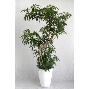 観葉植物 開店祝い シュフレラ10号 (陶器鉢入り受け皿付)|ispecial