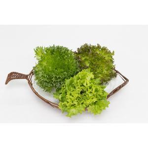 パスカルの農薬を全く使わない、安心安全なリーフレタスです。 【トロピカル】【グリーン】【レッド】3種...