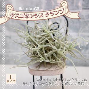 エアプランツ チランジア クスゴネンシス クランプLサイズ幅約8cm×高さ約7cm Lサイズ  送料無料|itanse