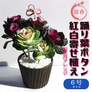 踊り葉ボタン 紅白寄せ植え お正月アレンジ 観葉植物  6号ポット 1個売り  送料無料|itanse