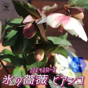 クリスマスローズ HGC IceN'roses 氷の薔薇:ビアンコ 花苗  6号ポット 1個売り フラワーギフト 贈り物  窓辺 送料無料|itanse