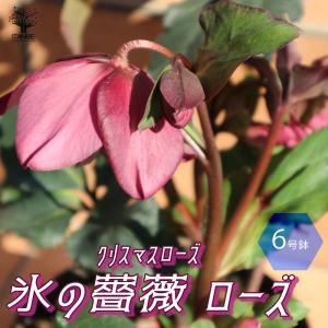 クリスマスローズ HGC IceN'roses 氷の薔薇:ローズ 花苗  6号ポット 1個売り フラワーギフト 贈り物  窓辺 送料無料|itanse